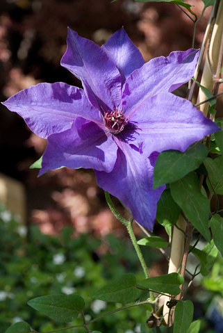 Clematis Hybrid