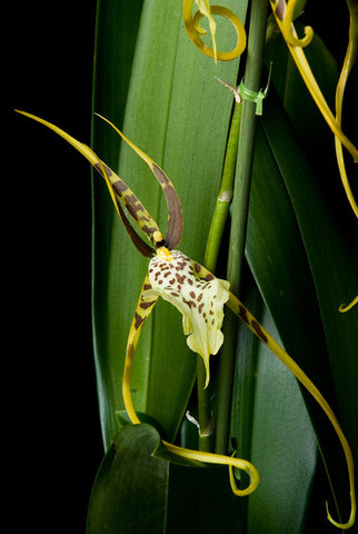 Brassia Rex Hybrid