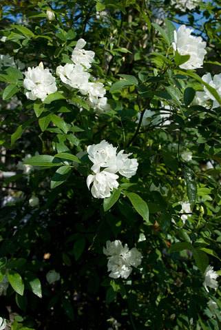 Rosa Banksiae Alba