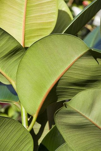Ficus Robusta The Chelsea Gardener