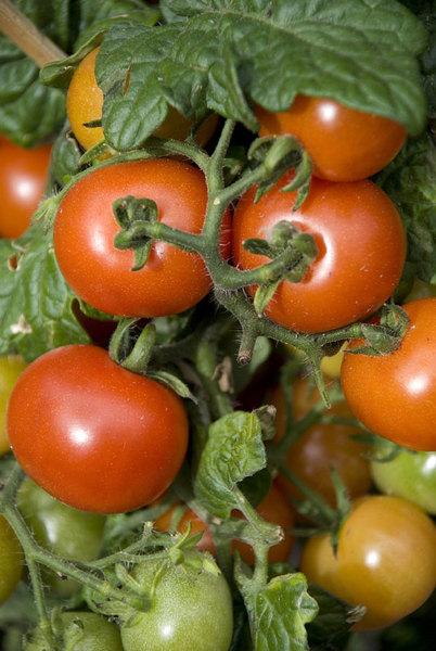 tomato-totem