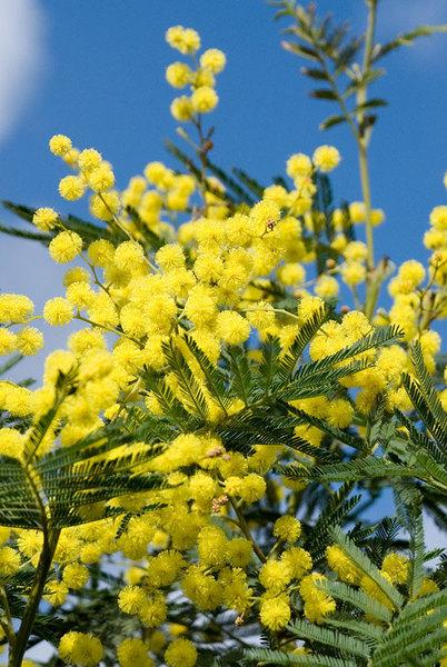 Acacia Mimosa Dealbata The Chelsea Gardener