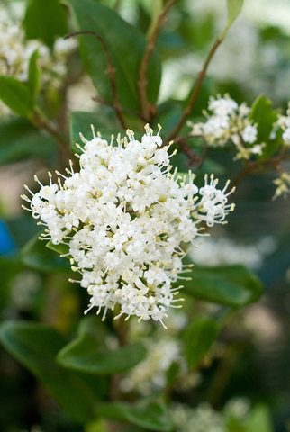 Ligustrum Texanum