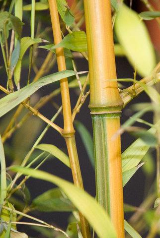 Bambusa vivax Aureocaulis