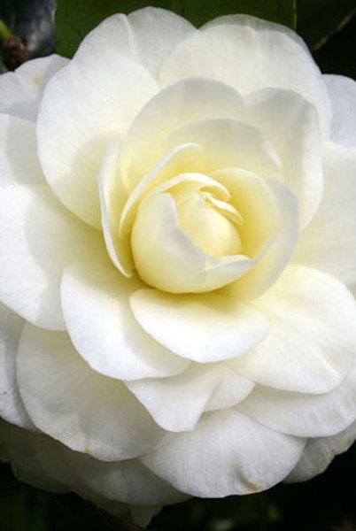 Camellia-Lemon-Drop-NOW-IN12.jpg