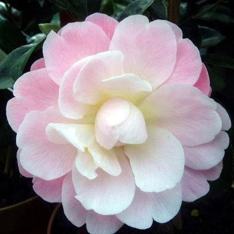 Camellia Magic Mum