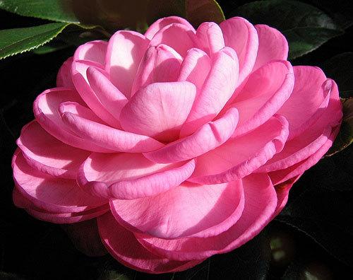 Camellia-Wilamina-NOW-IN1.jpg