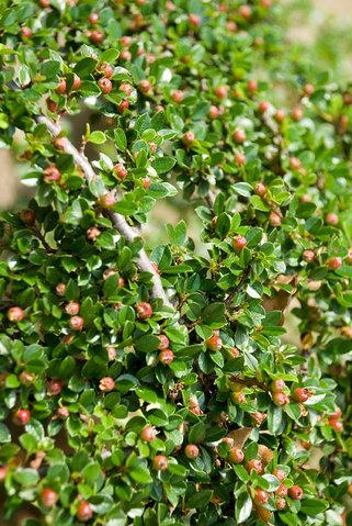 Cotoneaster Cashmeriensis