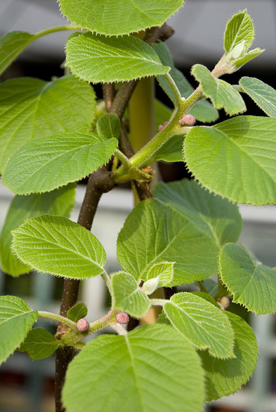 Actinidia-chinensis.jpg