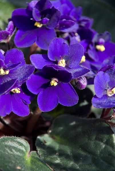 African-Violet.jpg