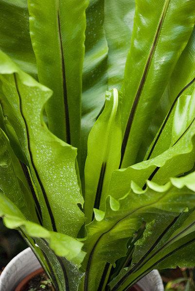 Asplenium-fern.jpg