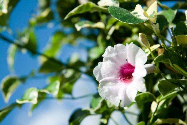 Bignonia-Semperflorens.jpg