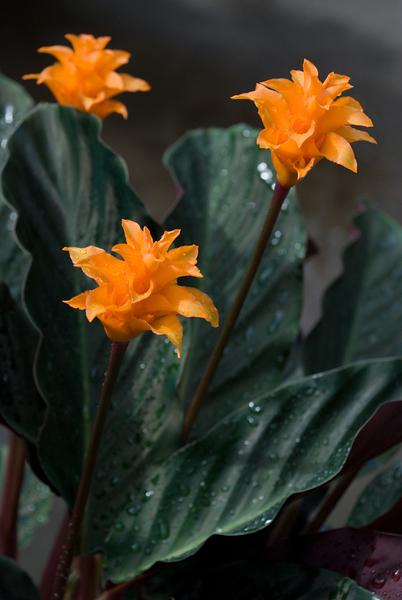 Calathea Crocata The Chelsea Gardener