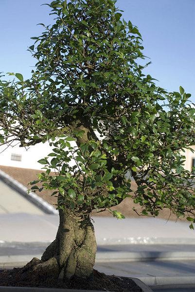 Chinese-Elm-Bonsai.jpg
