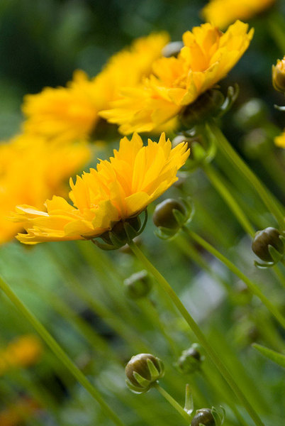 Coreopsis-grandiflora1.jpg