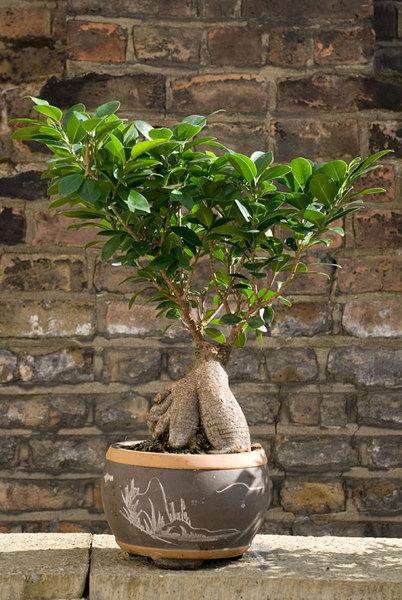 Ficus-Bonsai.jpg