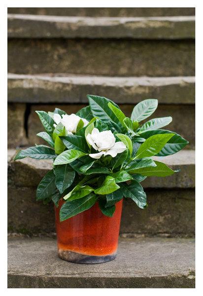 Gardenia-NOW-IN1.jpg