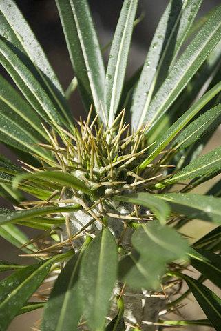 Pachypodium Ramosum
