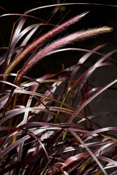 Pennisetum-setaceum.jpg