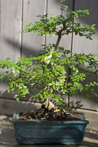 Pepper tree Bonsai