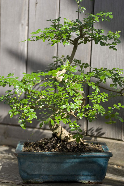 Pepper-tree-Bonsai.jpg