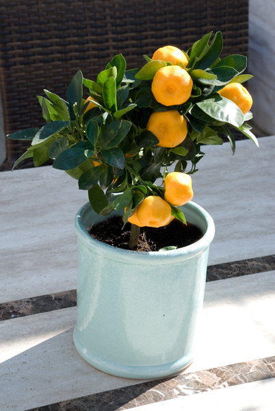 Small Calamondin.jpg