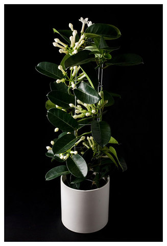 Stephanotis The Chelsea Gardener