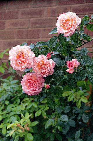 Roses The Chelsea Gardener