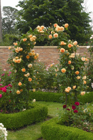 Crown Princess Margareta Rose