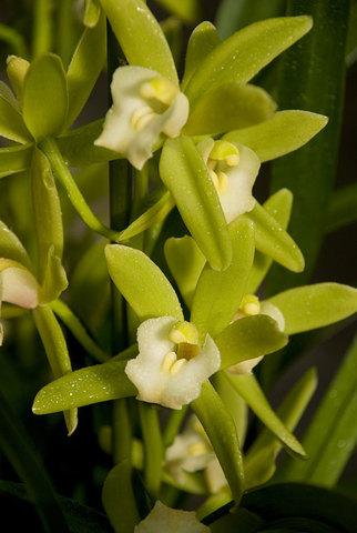 Cymbidium 'Lowianum hybrid'