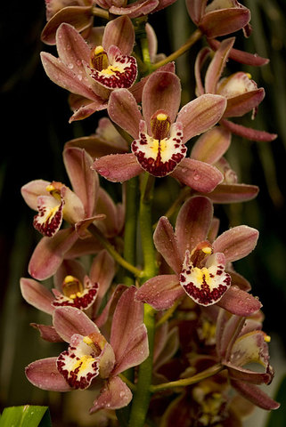 Cymbidium 'Putana x Ruby Eyes'
