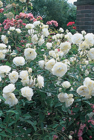 Iceberg Bush Rose