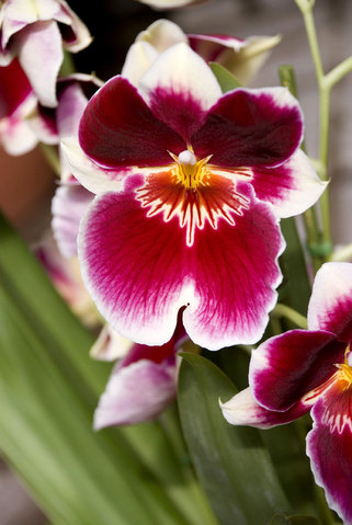 Miltonia (Pansy Orchid)