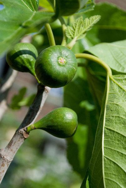 Ficus-Carica.jpg