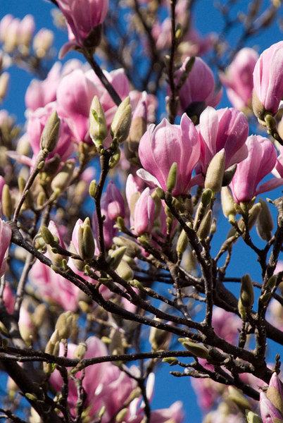 Magnolia-Soulangiana12.jpg