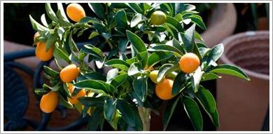 Citrus
